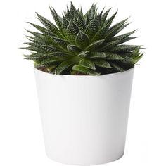 Borstaloe - Aloe aristata 'Magic' 17cm