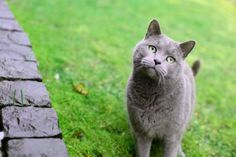 I love british shorthair cats! They're so cute and fluffy and cute and fluffy and