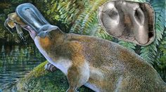 Before the discovery, fossil records suggested only one species of platypus inhabited the Earth at any one time, with the creatures becoming smaller and the size of their teeth reducing through time.