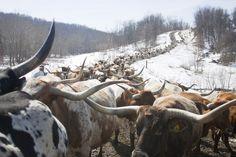 Herd of Texas Longhorn Cows on Muskrat Road near Barnesville, Ohio. (Photo courtesy of Dickinson Cattle Co. Longhorn Cattle, Longhorn Cow, Live Animals, Farm Animals, Miniature Cow Breeds, Miniature Cows, Selective Breeding, Gado, Beef Cattle