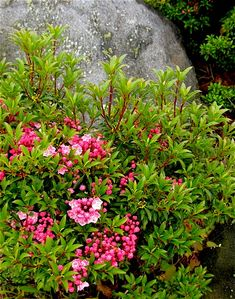 mountain laurel - would love to use some of the dwarf varieties of these beautiful broad leaf evergreens. they have gorgeous flowers in late may and great foliage year round