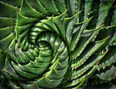 Spiral cactus, Topaz Spicify
