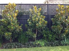 8 Good Tips: Backyard Garden Fence Plants garden ideas fence fun. Fence Trees, Backyard Trees, Backyard Plants, Fence Plants, Backyard Garden Design, Backyard Fences, Little Gem Magnolia Tree, Magnolia Trees, Evergreen Magnolia