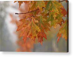 Autumn Colors Acrylic Print  #autumn #fall #branch #oak #oakleaf #oaktree #colors #oakleaves #branch #tree #park #plant #bokeh #photography #acrylic #canvas #art #buyart #decor #decoration #decorative #sale #forsale #onsale #discount #bright #nature