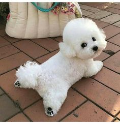 Super Cute Puppies, Cute Baby Dogs, Cute Dogs And Puppies, Doggies, Cute Wild Animals, Cute Funny Animals, Animals And Pets, Bichon Dog, Teddy Bear Puppies