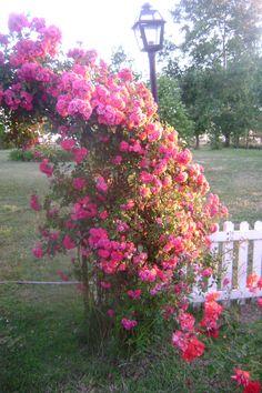 Excelsa rosal enredadera antiguo de una sola floración sin perfume .