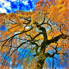 Golden Rain Tree, I believe...Mother's brother has one in his yard!!!
