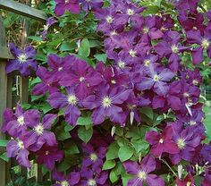 Etoile Violette Clematis: Deep purple, 3 inch blooms with an 'eye' of creamy stamens. They are borne in such profusion that they all but obscure the foliage, which explains why many Clematis aficionados rate this variety among the most free-flowering of all the hybrids.
