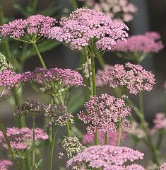 Pimpinella major 'Rosea' : Like a refined, pink flowered cow-parsley. Makes a nice spreading plant in ordinary soil. Cottage Garden Plants, Garden Shrubs, Pink Garden, Dream Garden, Spring Flowers, Wild Flowers, Beautiful Gardens, Beautiful Flowers, Enchanted Garden