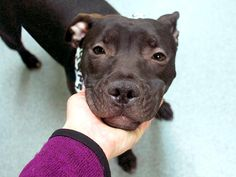 SAFE! YIPPEE! BALI MYNA – A1069231 | Help us Save NYC AC&C Shelter Dogs