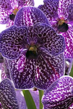 Vanda 'Exotic Purple', by Dirk Wiersma - Orchid Flowers Fine Art Print
