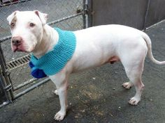 SAFE --- SUPER URGENT 3/7/14  Manhattan Center    SNOOPY - A0646359   *** RETURNED ON 3/7/14 ***    NEUTERED MALE, WHITE, AMERICAN STAFF MIX, 8 yrs  OWNER SUR - EVALUATE, HOLD RELEASED Reason NO TIME   Intake condition DISEASE Intake Date 03/07/2014, From NY 10019, DueOut Date 03/08/2014,  https://www.facebook.com/photo.php?fbid=771020246244190&set=a.617942388218644.1073741870.152876678058553&type=3&permPage=1