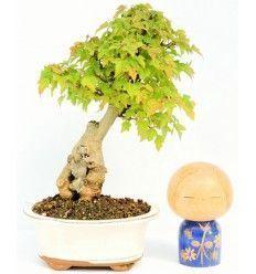 Bonsai Acer Buergerianum en Roca