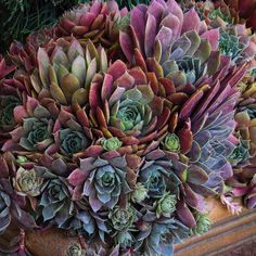 Hens and chicks