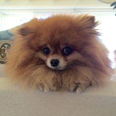 Pomeranian,  Nutter Butter
