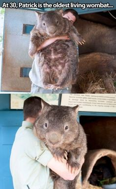 Also The Biggest Wombat On Earth ( imagine a cat seeing this ? He would think mice had suddenly grown to gargantuan proportions ! )