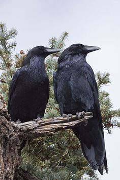 Pair of ravens. When I was in Denali, there was a congregation of ravens on a nearby roof that yakked all night long. Kept me awake for half the night, the blasted chatterboxes.