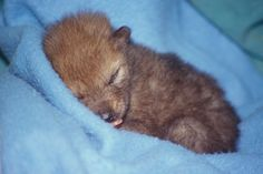 So tired.  A sleepy baby coyote hits the sack with a full belly after a handfeeding.