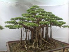 Bonsai root and branch network....
