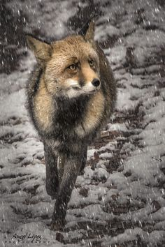 Red Fox by alopezca37 on 500px