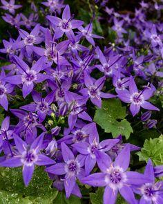 #kwiatuszki #kwiatki #kwiaty #flowers #flowerslovers #bloemen #bloemetjes #fioletowe #paars #violett #ogród #ogródek #tuin #garden #beutyful #wogrodzie #flora #rośliny #planten #plants #natura #natuur #nature #lifeisbeautiful #przyroda #mooi #piekne #niedziela #maj #mei http://gelinshop.com/ipost/1524647970790786756/?code=BUoo0BigUbE