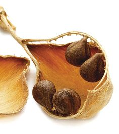 Seedpod of Isomeris arborea / Anna Laurent