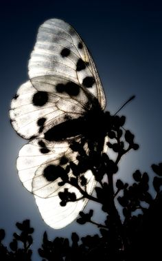 * Parnassius Apollo by Miguel Angelo - black & white, butterfly, silhouette… Papillon Butterfly, Butterfly Kisses, White Butterfly, Butterfly Wings, Image Nature, Mundo Animal, Nocturne, Beautiful Butterflies, Light And Shadow