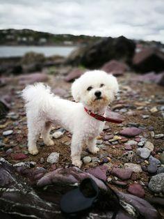 Bichon frise white dogs