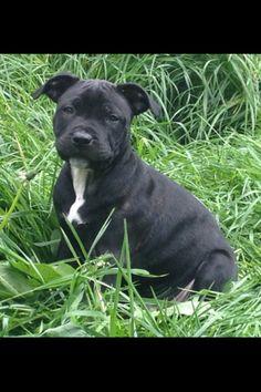 Staffordshire Bull Terrier Puppy