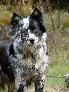 This is Kid. He's a Blue Healer, Border Collie mix. He's 4 years old now and is my best friend. I don't trust anyone but him. He's my hunting partner and we keep each other alive. Because in this world it's Kill or Be Killed. via @KaufmannsPuppy
