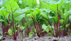pěstování řepy