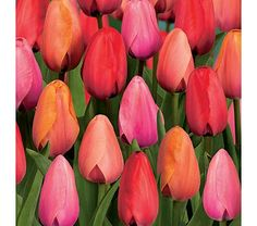 Do You Know You: Tulips, Tulip Flowers, Tulip Bulbs, And Flowering Tulip Bulbs.