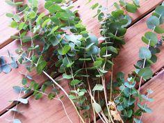 eucalyptus in the home garden