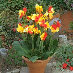 These goregous semi-dwarf canna lilies are out to make a statement, just like the famous queen of the Nile: Cleopatra! Description from tulipworld.com. I searched for this on bing.com/images