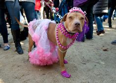 16 Amazing Costumes From New York City's Halloween Dog Parade Halloween Parade, Dog Halloween, Halloween 2018, Cool Costumes, Amazing Costumes, Halloween Costumes, Diy Princess Costume, Animal Dress Up, Pit Bull Love