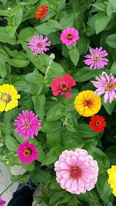 Zinnias, Spring Flowers, Photographs, Garden, Plants, Flowers, Photos, Spring Colors, Cake Smash Pictures