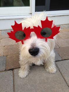 Happy Canada Day eh! Diamond Are A Girls Best Friend, My Best Friend, Larry, Happy Canada Day, Dog Nose, Cute Puppy Pictures, West Highland Terrier, West Highland White, White Terrier