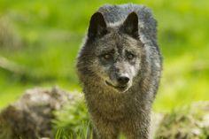 Événement au Parc Animalier de Sainte-Croix : l'arrivée des loups noirs Timberwolf