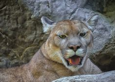 Cougar  by LAM- Photography