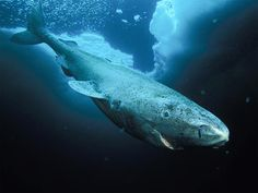 Greenland Shark-has been known to eat horses, reindeer, and polar bears.
