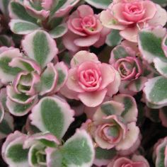 Tricolor Sedum Spurium Succulent - Variegated Stonecrop Succulents in 2 inch pot