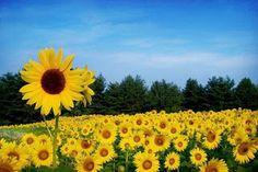 Blossom Charming: Sunflower Blossom Flowers Name List, Flower Names, Sunflower Flower, Blossom Flower, Vineyard, Scenery, Plants, Outdoor, Sunflowers