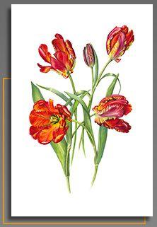 Belinda Noble Botanical Artist