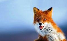 Fox HD Wallpapers