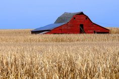 Red barn in corn field