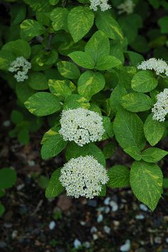 Variegated Wayfaring Tree (Viburnum lantana 'Variegatum') at Garden Supply Company