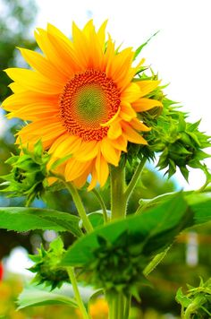 I Love #SunFlowers ACFilters4Less.com #ACFilters