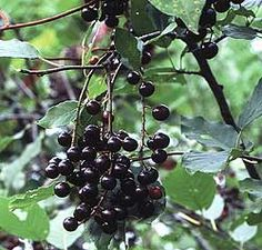 Chokecherry! (a drink of the berry juice to stop post-partum hemorrhaging) Consult your physician before supplementing to your routine.