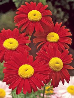 Robinson Red Daisy - I have never seen a daisy like this!  I absolutely love the red petals with the yellow center. (www.blooming-art.com)