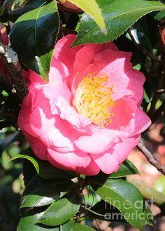 """""""Hidden Beauty - Camella"""" Copyright Carol Groenen #camellia #spring #camellias #springflowers #southern #southernflowers #southernspring"""